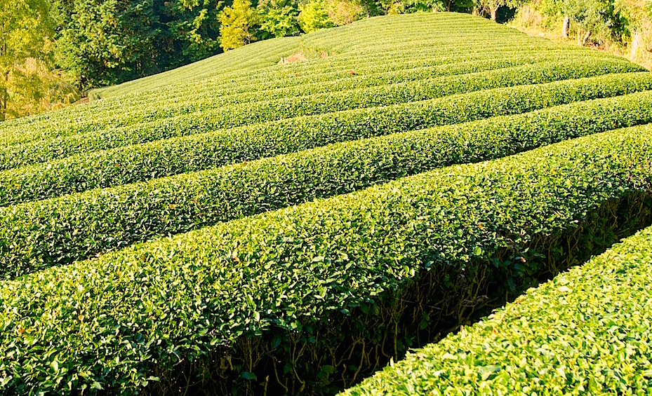 静岡茶発祥の地・足久保地区を中心に安倍奥には茶棚田が広がっています