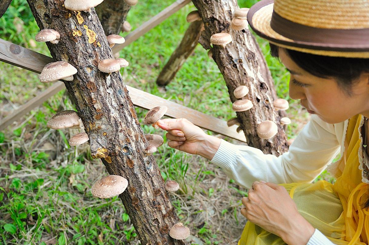 ホダ木から椎茸を採ります