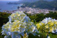 松崎町牛原山の「あじさいの丘」でアジサイが開花