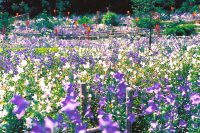 森町の香勝寺で『ききょう園開園』