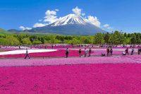 本栖湖リゾート(山梨県富士河口湖町)で『富士芝桜まつり』