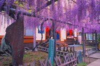 磐田市で『池田熊野の長藤まつり」