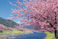 河津桜まつり(河津町)