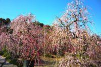 『昇竜しだれ梅まつり』(浜松市・奥山高原)|2019
