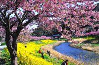 第21回みなみの桜と菜の花まつり(南伊豆町)|2019